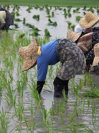 culture riz - OGM - consoGlobe