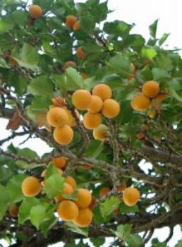 abricotier  pour avoir une belle peau