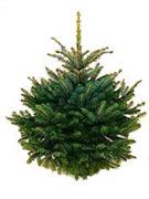 sapin noel epicea