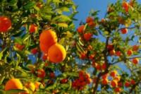 Et pour les arbres fruitiers en pot ?