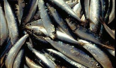 sardines-mediterranee.JPG