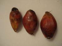drupes de palmier à huile
