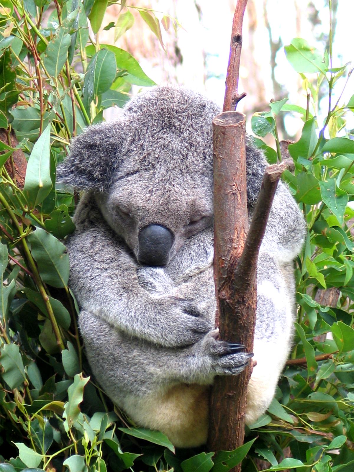 koala enfin r pertori comme une esp ce vuln rable en australie. Black Bedroom Furniture Sets. Home Design Ideas