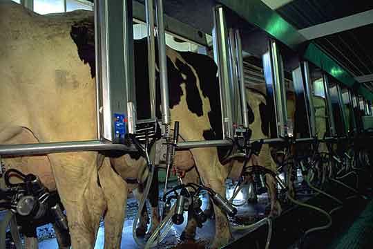 540x360_cows_dairy1_usda.jpg