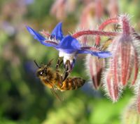 Abeille_sur_une_fleur_de_bourrache_(by) apiculture