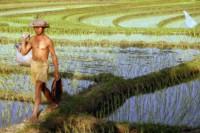 Culture riz équitable