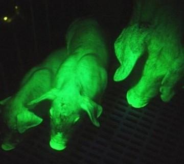 Porcfluorescent.jpg