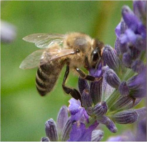 abeille-butine.jpg