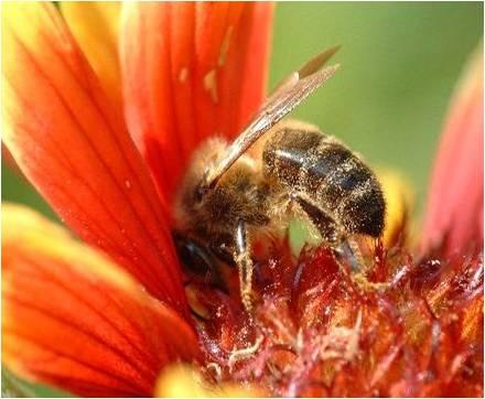 abeille-pistil.jpg