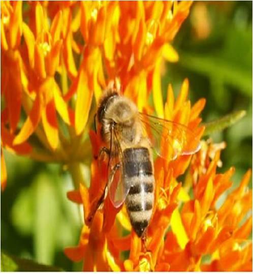 abeilles-fleurs-orange.jpg