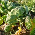 choux de bruxelles: légume de novembre