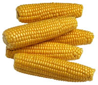 maïs - OGM - consoGlobe