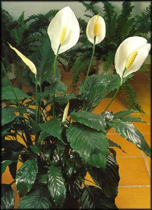 Maison les plantes d polluantes vous connaissez - Plante exterieur sans soleil ...