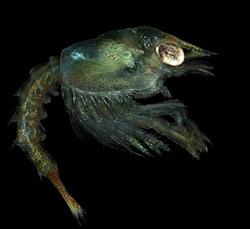 larve de homard