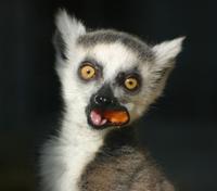 le lémurien