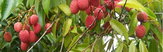 litchi-arbre.JPG