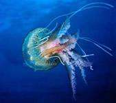 meduse mediterranée