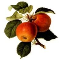 Vinaigre de cidre de pomme
