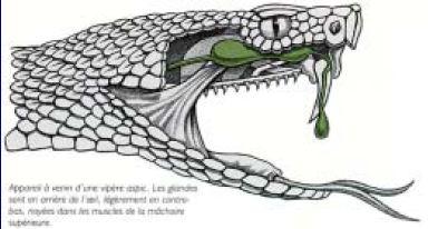 vipere serpent