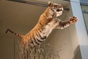 tigre dans une réserve