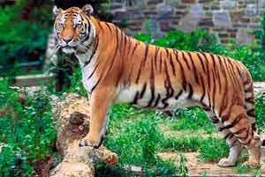 tigre du bengale dans une réserve