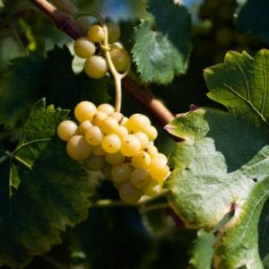 vigne bio