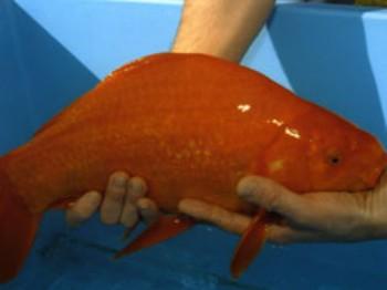 Insolite le guiness des records des animaux for Poisson rouge plastique